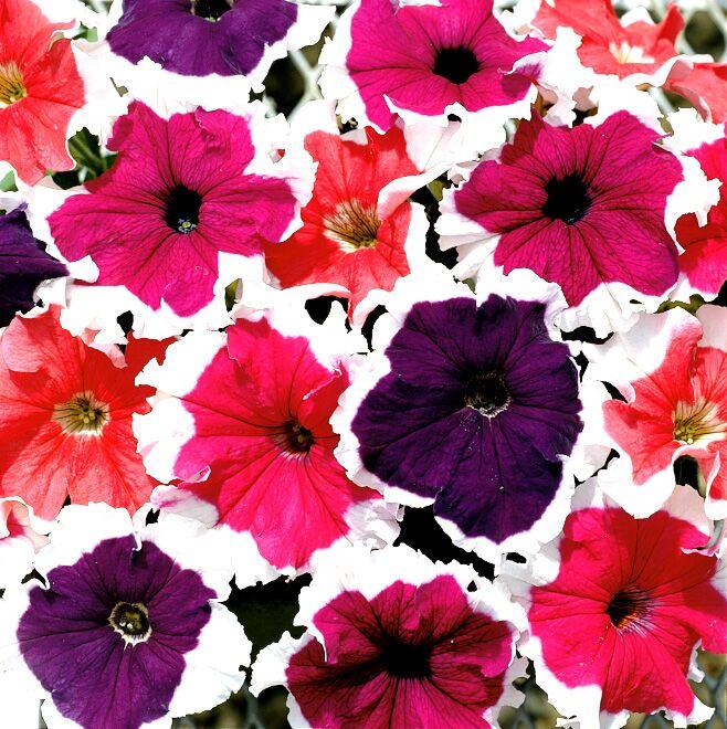 Петуния крупноцветковая картинки